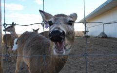 """She's so ravenous, she just comes up and gobbles everything up,"" Craig Calderone, owner of The Michigan Whitetail Hall of Fame said. Apples, a three year old doe who grew up on the farm, enjoys a bite of apple. Photo Rita Alonso"