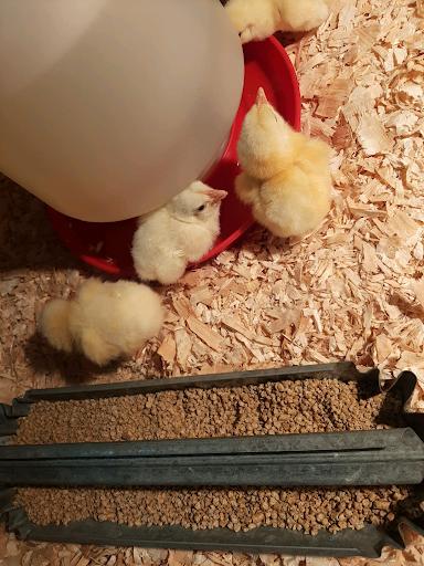 Chicken watch: Hatch day